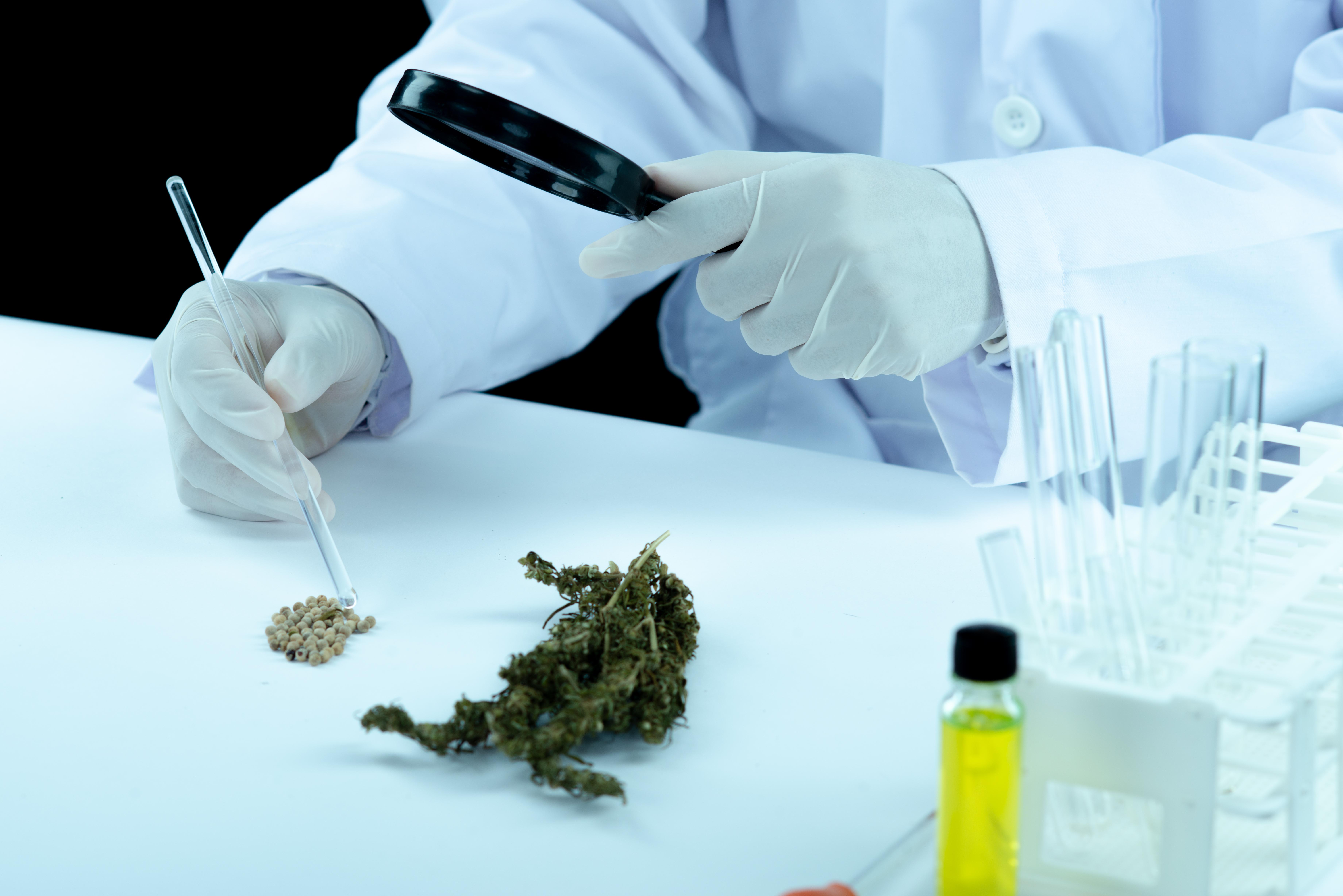 busqueda variedades cannabis medicinal