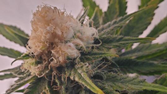 marihuana albina